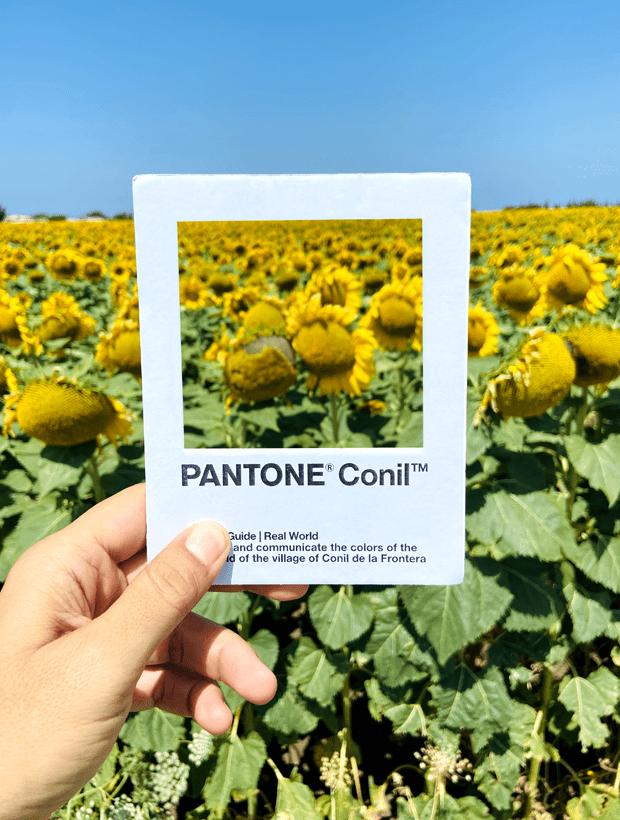 Girasoles. Pantone Conil